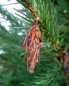 BAG WORM ON PINE TREE.image