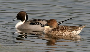 Northern Pin Tailed Duck