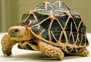 indian-star-tortoise-walk